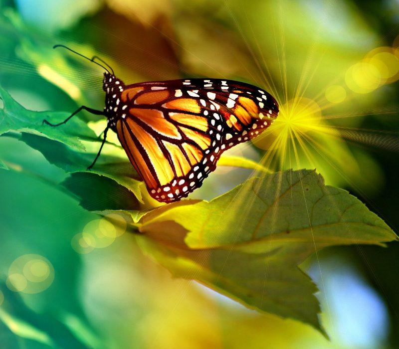monarch-4335443_1920